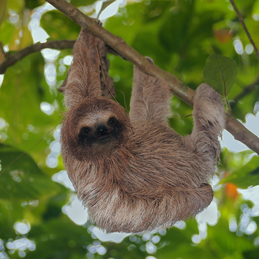 Brown throated sloth in the jungle