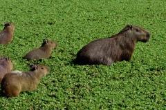 Colombia Llanos Capybaras waterhole